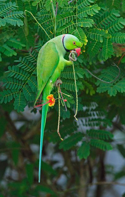Rose-Ringed Parakeet. Photo by davidcyt