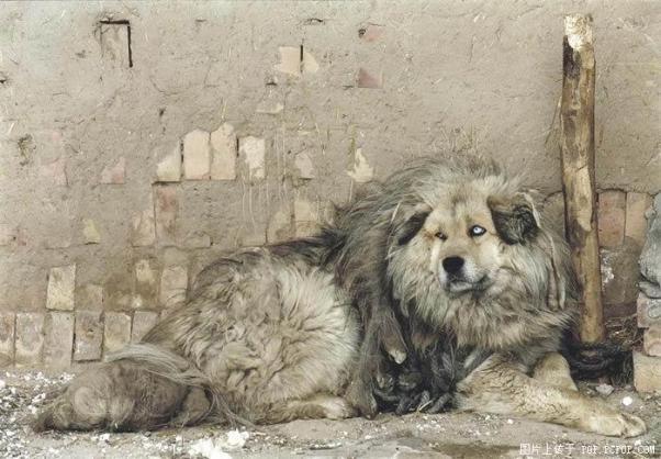 Tibetan Mastif:  Leigh and Rob
