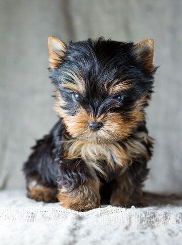 Seis informações importantes antes de adquirir um filhote de Yorkshire Terrier