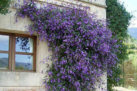 17 best images about plantas trepadoras on pinterest shops jade and blue morning glory - Plantas trepadoras para pergolas ...