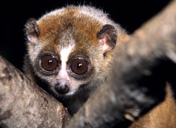 Slow Loris #ExpertoAnimal #MundoAnimal #ReinoAnimal #Animales #Naturaleza #AnimalesExóticos #AnimalesRaros #SlowLoris
