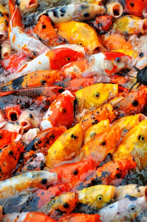 91 best being koi images on pinterest for Koi fish store