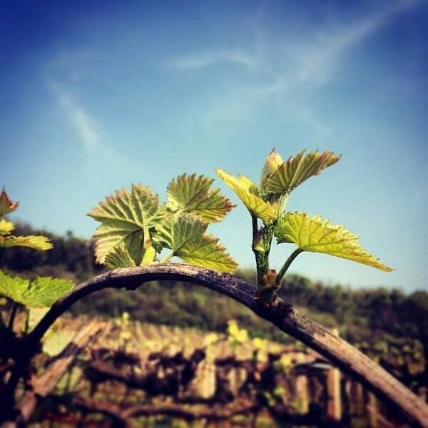 the vineyard awakens