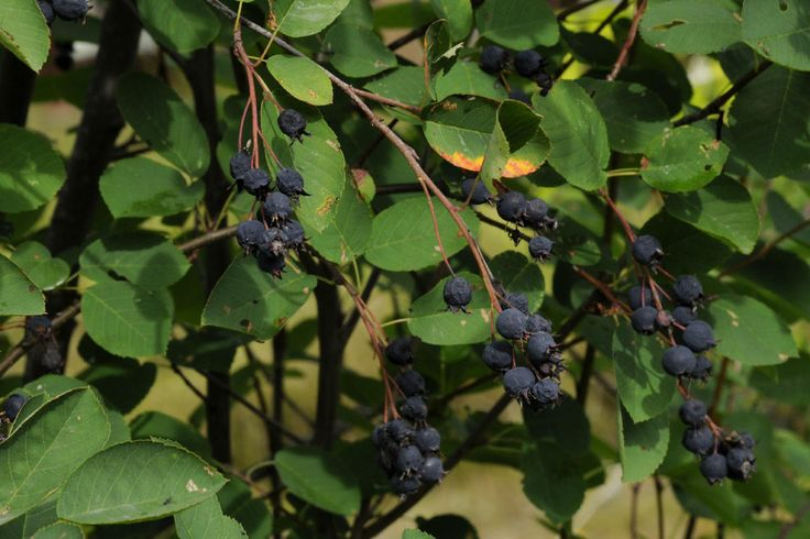 Isotuomipihlaja (Amelanchier spicata) | Vieraslajit.fi