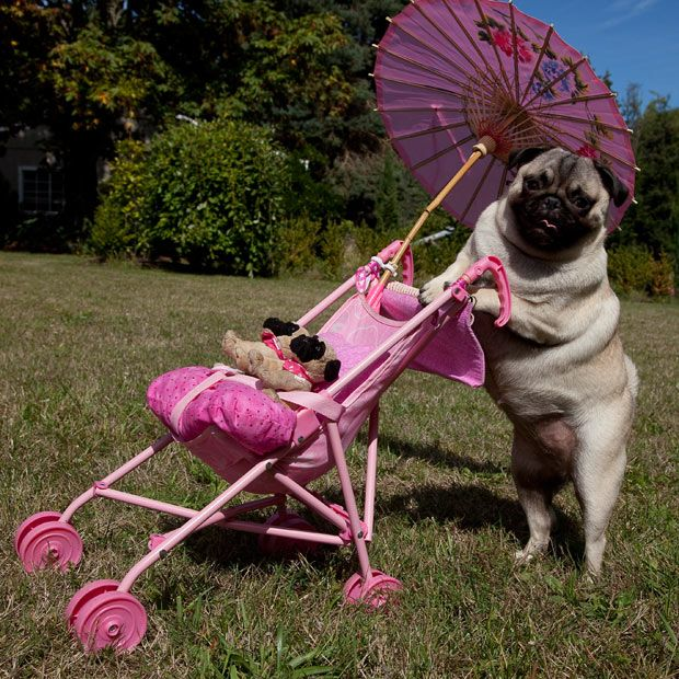 Jenny the pug, in Oregon, USA, is - according to her owners - so smitten with her toy pugs that she insists on pushing them around in a pushchair