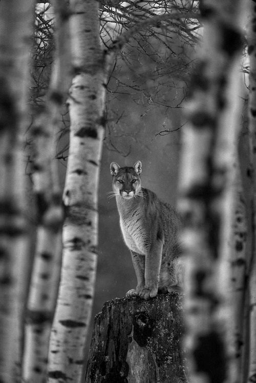 mountain lion- rare in PA but my grandmother saw one on the hill behind her home