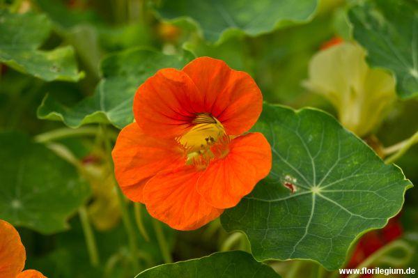 #Kapuzinerkresse #Tropaeolum majus http://www.florilegium.de/blog/pflanzen/blumen-im-garten/grosse-kapuzinerkresse-tropaeolum-majus.html