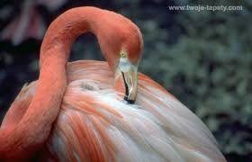 Znalezione obrazy dla zapytania flamingi obrazy