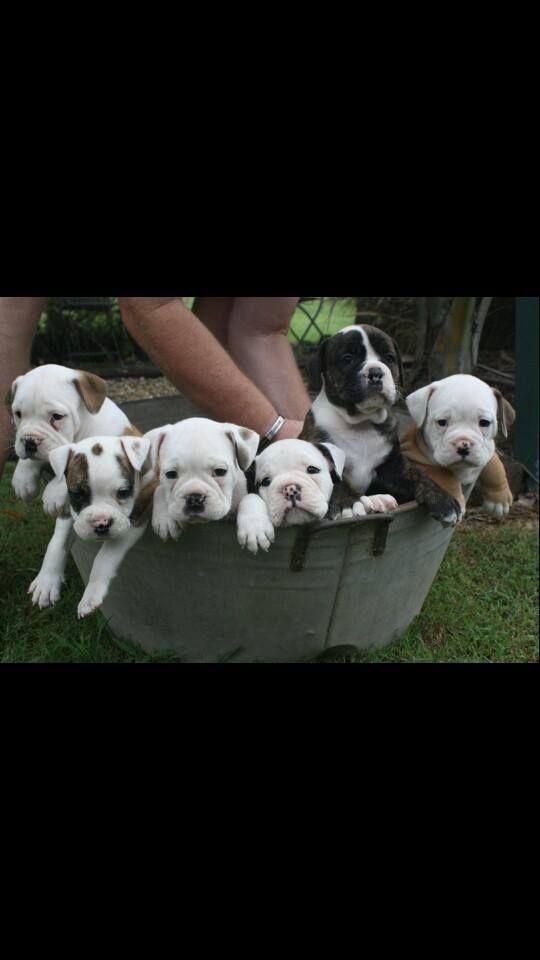 dogsandpupsdaily:  - Australian Bulldog. Want more? Follow:http://dogsandpupsdaily.tumblr.com/