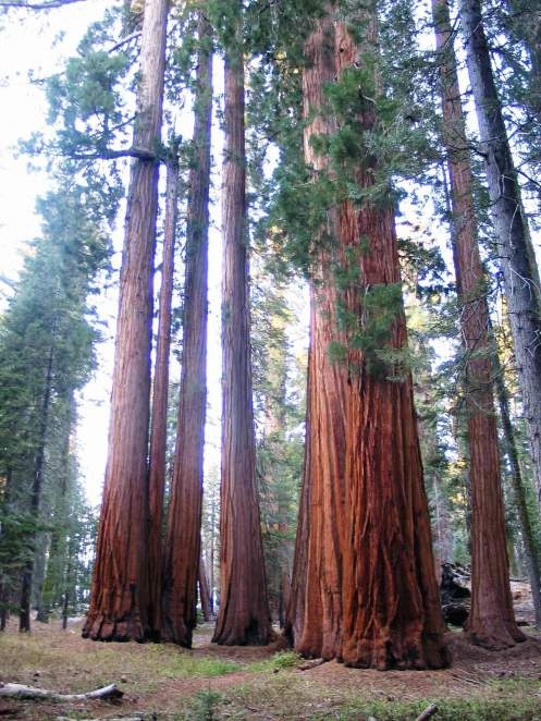 """""""One is constantly reminded of the infinite lavishness and fertility of Nature."""" ~John Muir. Sequoia National Park"""