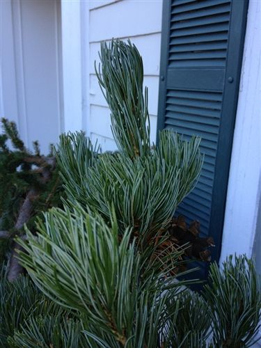 Pinus parviflora 'Shion' - Conifer Kingdom