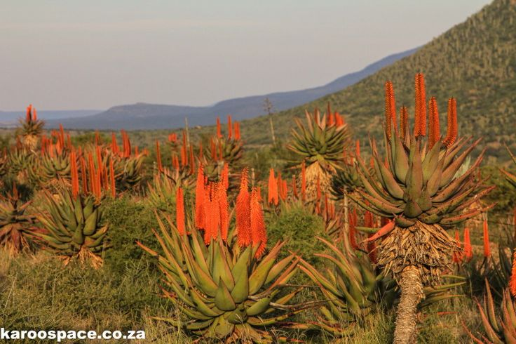 Aloe Uprising on the Cradock - Port Elizabeth stretch of the N10. Our winter perk-up.