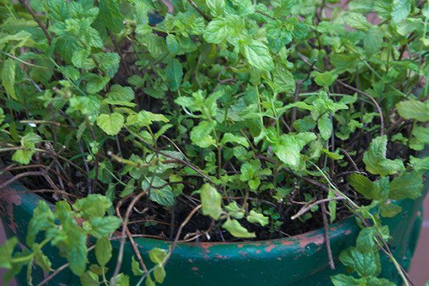 C mo cultivar hierbabuena en maceta - Hierba luisa en maceta ...