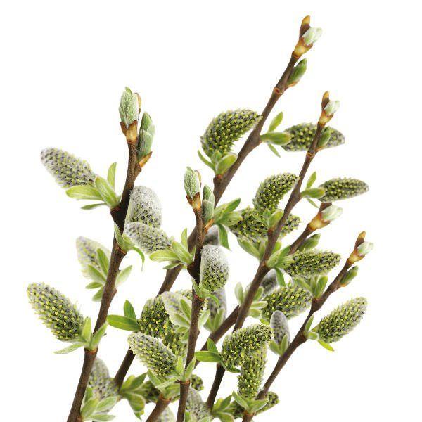 Wierzba płożąca - Salix repens 'Nitida'