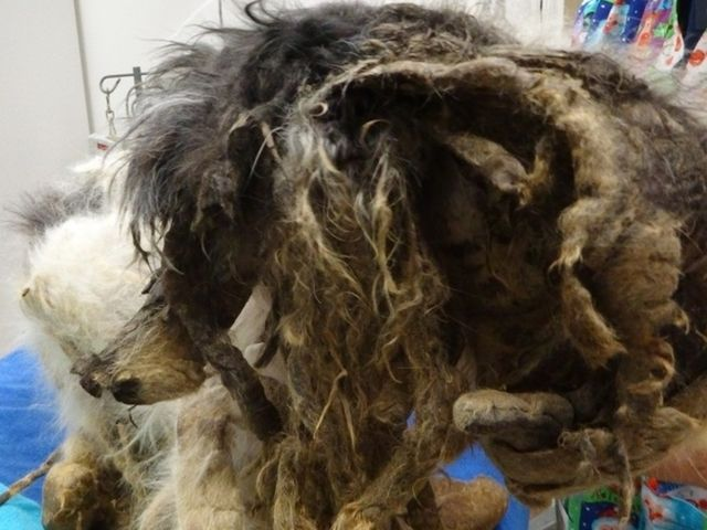SPCA rescues severely matted dog from Buffalo home I why? :(