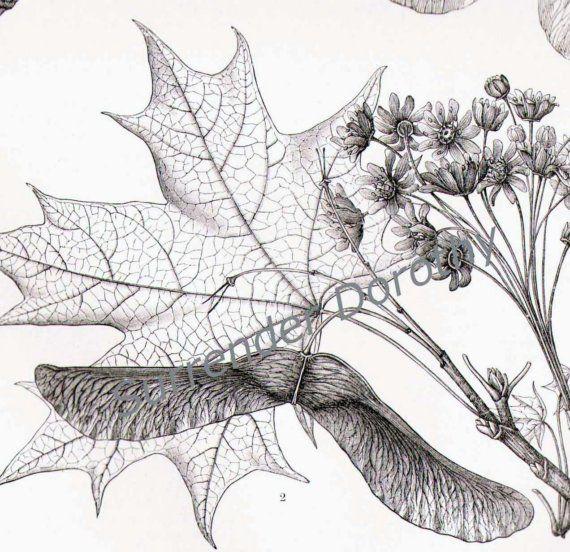 Maple Tree Varieties Vintage Botanical by SurrenderDorothy on Etsy