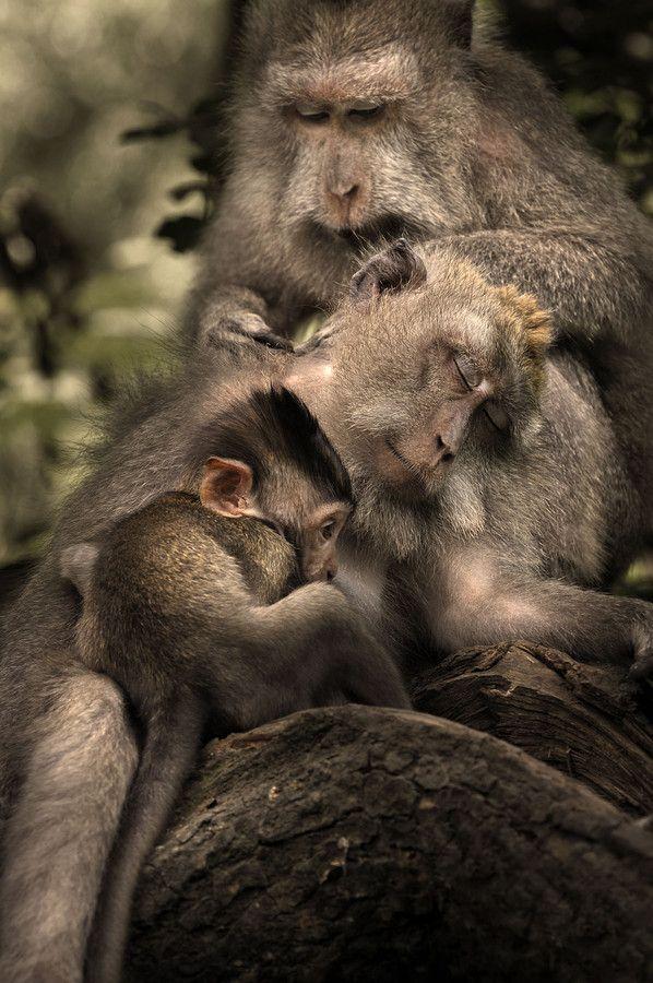 Die besten 25+ Macaque monkey Ideen auf Pinterest Baby Orang - gebrauchte k chen trier