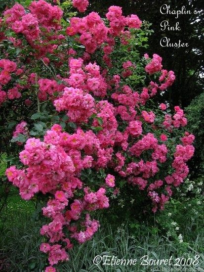 'Chaplin's Pink Cluster' Rose Photo*