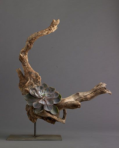Driftwood and echevaria garden succulents pinterest Driftwood sculptures for garden