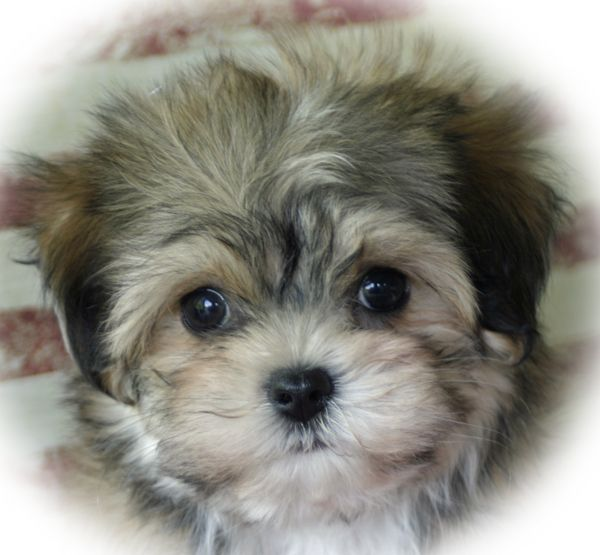 Havanese Puppies |Puppy for Sale|Dogs| Breeders| Breeds ...