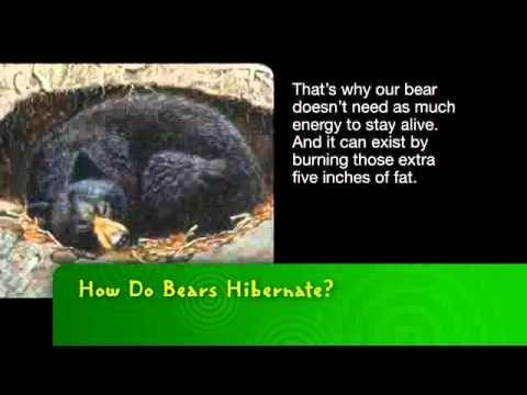 youtube video about bears hibernating