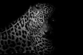 Pin By Michelle Schroeder On Felines Leopard Wallpaper Leopard Print Wallpaper Leopard Pictures