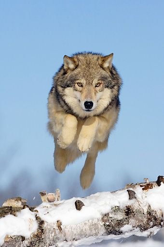 Gray Wolf Jumping Over Fallen Tree On Snow by Klein Hubert