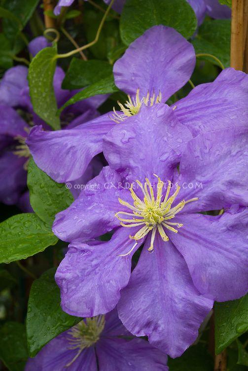Clematis 'General Sikorski', perennial climbing flowering vine with blue flowers, yellow stamens