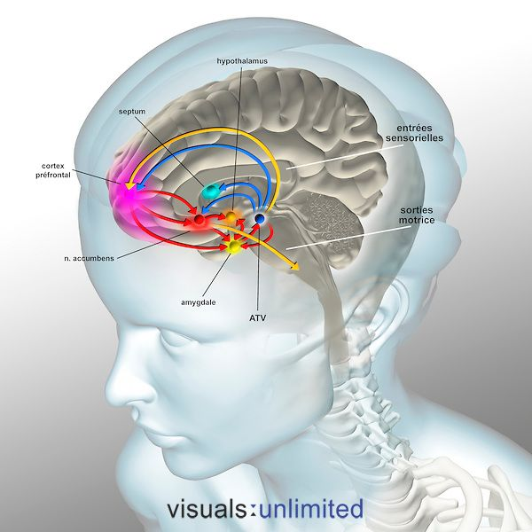 The brain reward pathway is indispensable to the survival because it associates the execution of vital functions with strong sensations of satisfaction. The ventral tegmental area (VTA), receives information which indicate the level of satisfaction, then analysis and transmits this information thanks to a chemical messenger, the dopamine, to the nucleus accumbens, the septum, the amygdala and the prefrontal cortex. The nucleus accumbens acts on the striatum which commands our movements in…