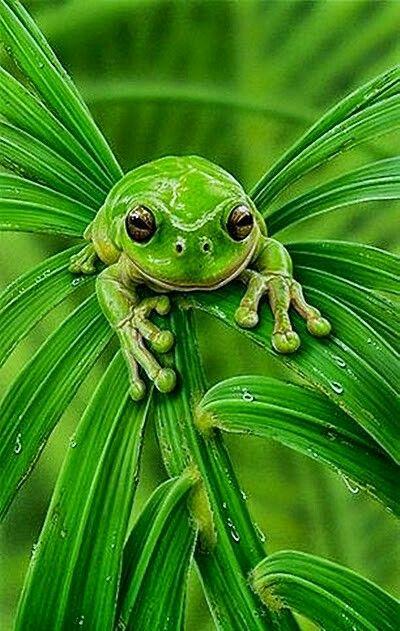 Zöld béka zöld levélen