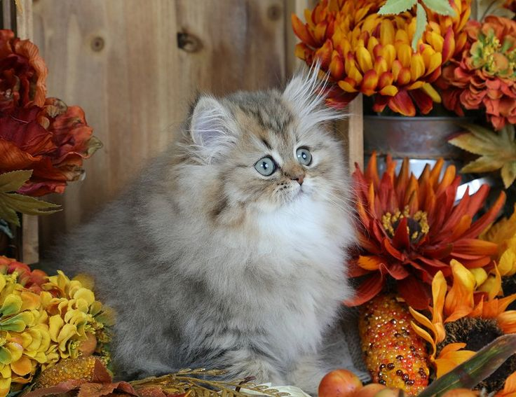 Find out more about our available kittens on our website: www.dollfacepersiankittens.com