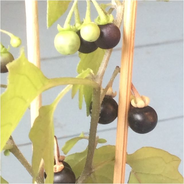 European Black Nightshade (solanum nigrum): European black nightshade (Solanum nigrum) or locally just black nightshade, duscle, garden nightshade, garden huckleberry, hound's berry, petty morel, wonder berry, small-fruited black nightshade, or popolo) is a species in the Solanum genus, native to Eurasia and introduced in the Americas, Australasia, and South Africa. Parts of this plant can be toxic to livestock and humans. Nonetheless, ripe berries and cooked leaves of edible strains are…