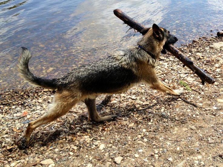 LOL my dog used to carry little sticks like this around