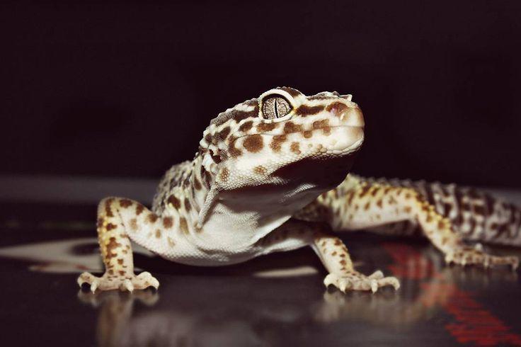 - Пятница? Где?! - Вооон там! - Friday? Where?! - Theeeere!  By @annalinz  #фермаhgf #leopardgecko #eublepharis  #reptile #geckos #gecko #leopardgeckosoninstagram #exoticanimals #animals #cuteanimal #cute #eublepharismacularius #леопардовыйгеккон #эублефар #ящерица #рептилия #геккон #гекконы #экзотическиеживотные #милыеживотные #macularius #leopardgeckomorph #geckolove #reptileofinstagram #reptilekeeper #geckogram #instagramleos