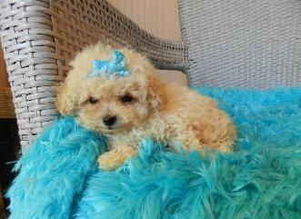 Micro Tiny Teacup Shih Tzu | Poodles for sale, teacup poodles,Toy poodles