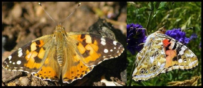 Participate in Project Painted Lady and help in the conservation of South Africa's painted lady butterflies. #citizenscience #LepiMAP #Lepidoptera