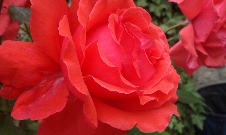 A rózsákat könnyeimmel öntözném, hogy érezzem töviseik fájdalmát, szirmaik szenvedélyes csókját. Gabriel García Márquez