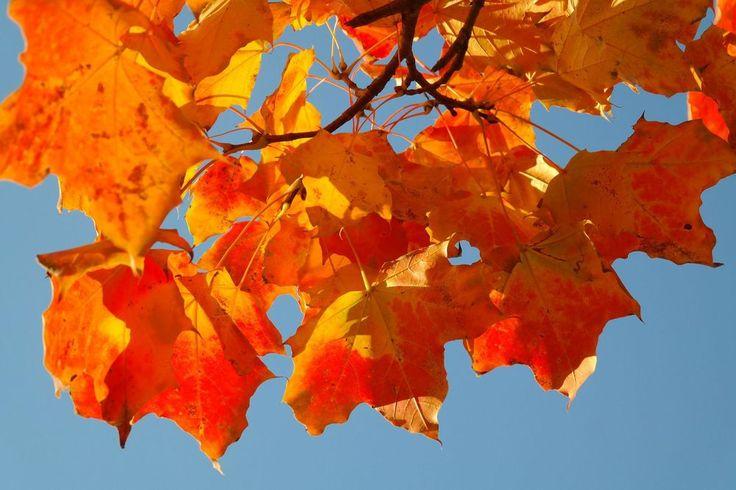 Esdoorn (Acer) : de 'Indian Summer' in Noord-Amerika wordt vooral veroorzaakt door de esdoorn waarvan het blad geel, oranje en rood kleurt in het najaar. Het handvormige blad staat zelfs op de vlag van Canada. Geschikt voor een grote tuin.