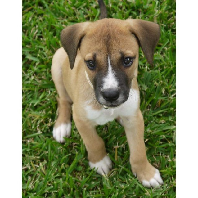 Boxer Jack Russell Terrier Mix Terrier Mix Pitbull Terrier