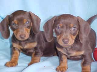 Three D's Miniature Dachshunds http://three-ds-dachshunds.com Chocolate and Tan Miniature Dachshunds