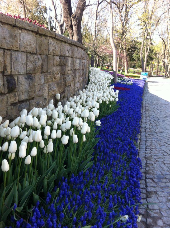 Emirgan Istanbul/ tulip