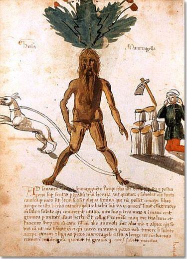 Mandragora,  15th. Cent., Plantearius, Traité de matière médicale, latin Planche 20, BNF Paris