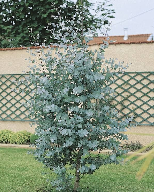 Other shrubs for foliage for flower arrangements to plant in your garden inc: eucalyptus gunnii Not to plant in cutting patch as they'll take up too much room
