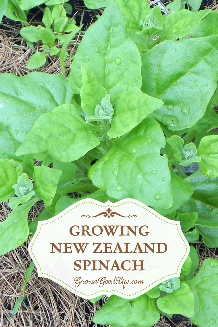New Zealand Spinach isn't really spinach at all but tastes similar and can be cooked the same way. Also unlike spinach it is a heat loving plant that that is frost sensitive. This means when the spring spinach bolts and before the fall spinach can be planted, New Zealand spinach can fill the void and grow all summer long.