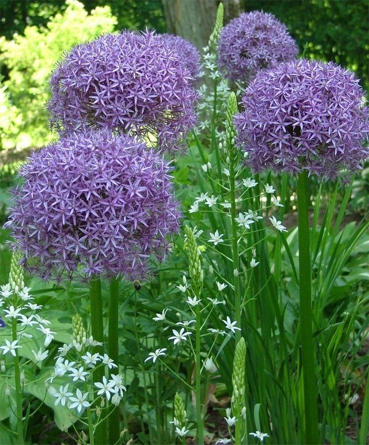 Allium Globemaster · My Secret GardenSpring BulbsAllium FlowersGarden ...
