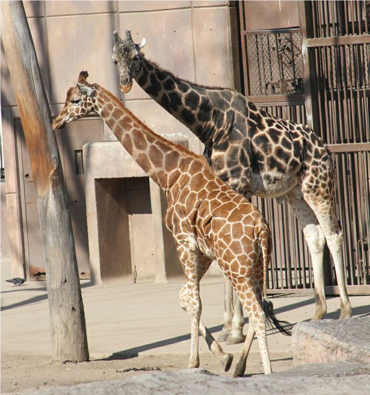 Las Jirafas que habitan en el Zoológico de Aragón.
