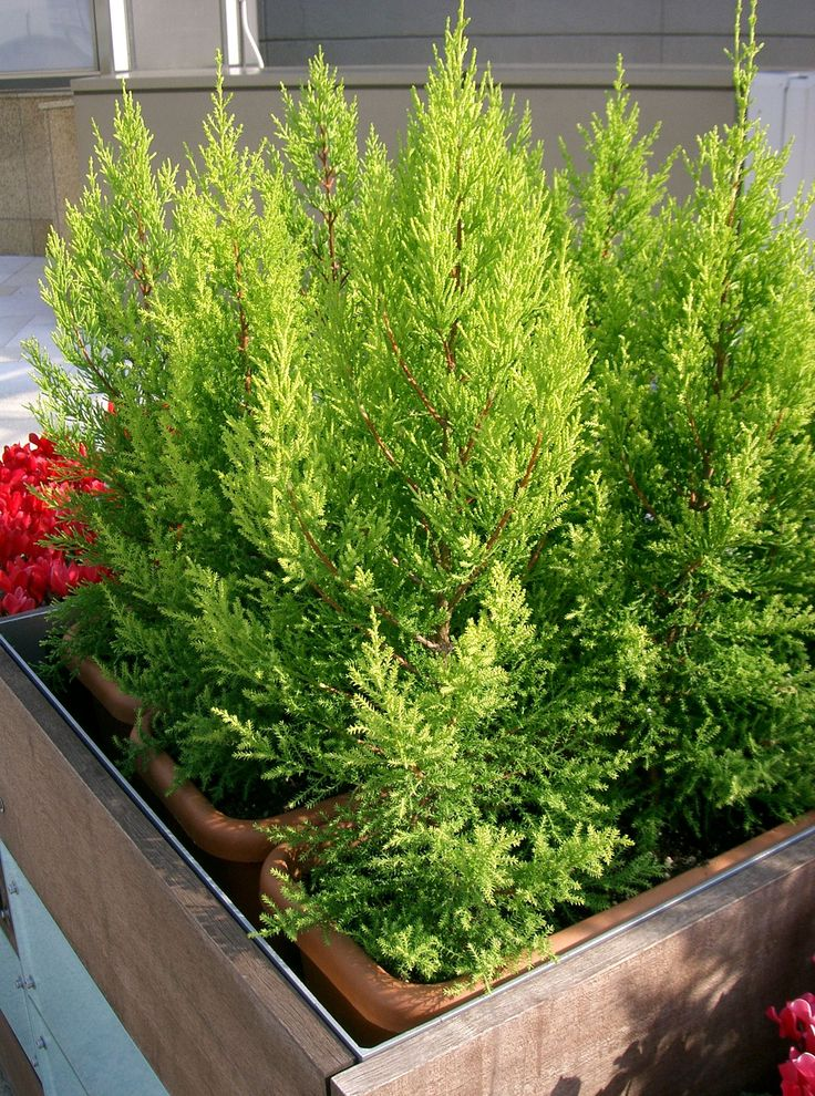 Lemon cypress nice slow growing tree for shade smells Planting lemon seeds for smell
