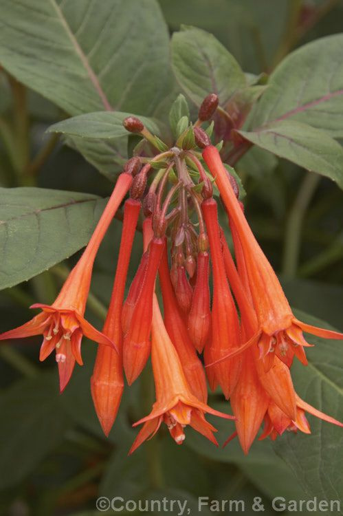 Fuchsia 'Thalia', a Fuchsia triphylla hybrid raised by Bonstedt of Germany in 1905. Probably the most popular of the tender triphylla hybrids, it has an upright habit and flowers continuously. It is sometimes confused with an earlier hybrid called 'Thalia' raised in 1855 in Britain.