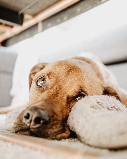 Dogs Acting Scared And Losing Their Mind Brown Dog Dogs Sleepy