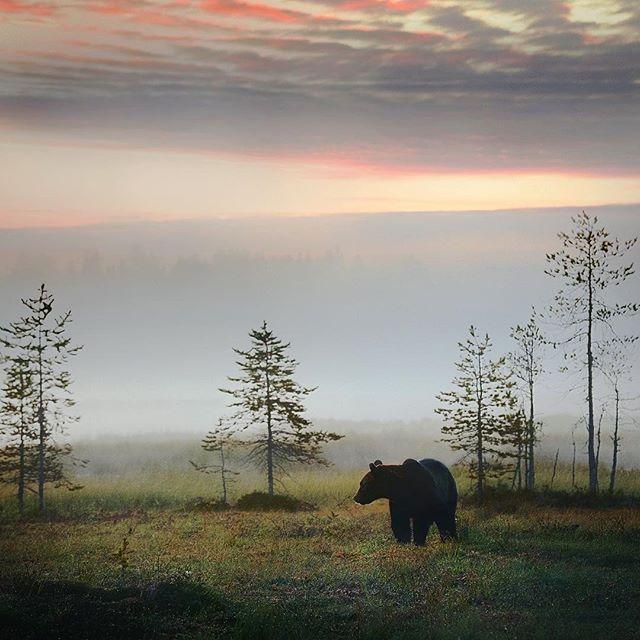 Brown bear (ursus arctos) on a misty morning. Finland By Niko Pekonen